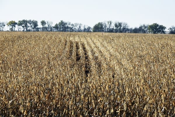 A corn field next to Jesse Hall's farmhouse near Arlington, S.D.