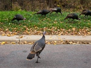 A gang of turkeys wander the streets of Shorewood.