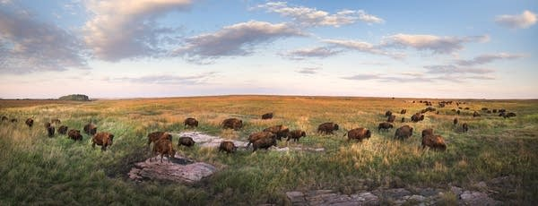 The bison herd at Blue Mounds State Park