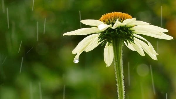 Raindrops fall on a flower