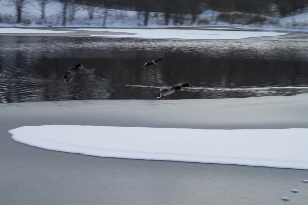 Ducks fly over a pond.