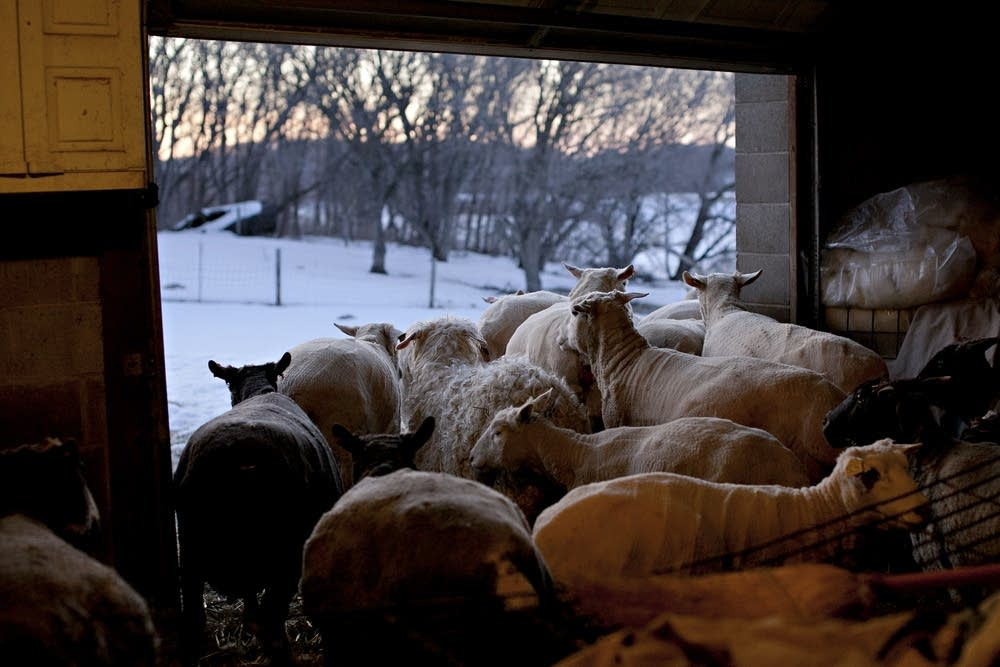 Ewes and goats in the barn