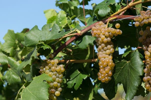 Itasca, a new U of M cold-hardy grape