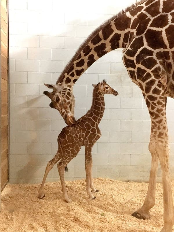The currently unnamed baby giraffe stands with its mother, Daisy.