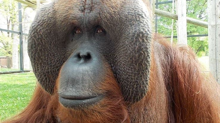 Tal, the orangutan