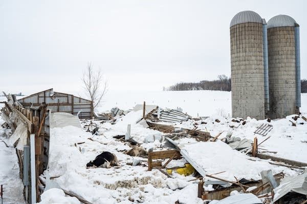 Dead Holstein dairy cows lay in the rubble of a collapsed barn.