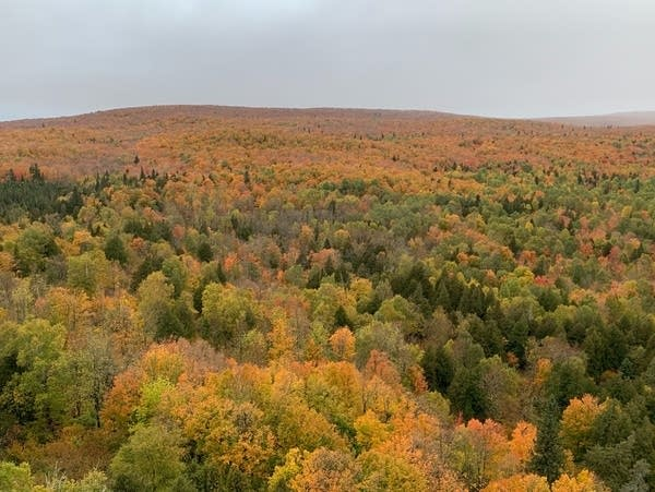 A view of a fall-colored forest from above