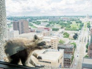 A raccoon scratches itself a window sill.