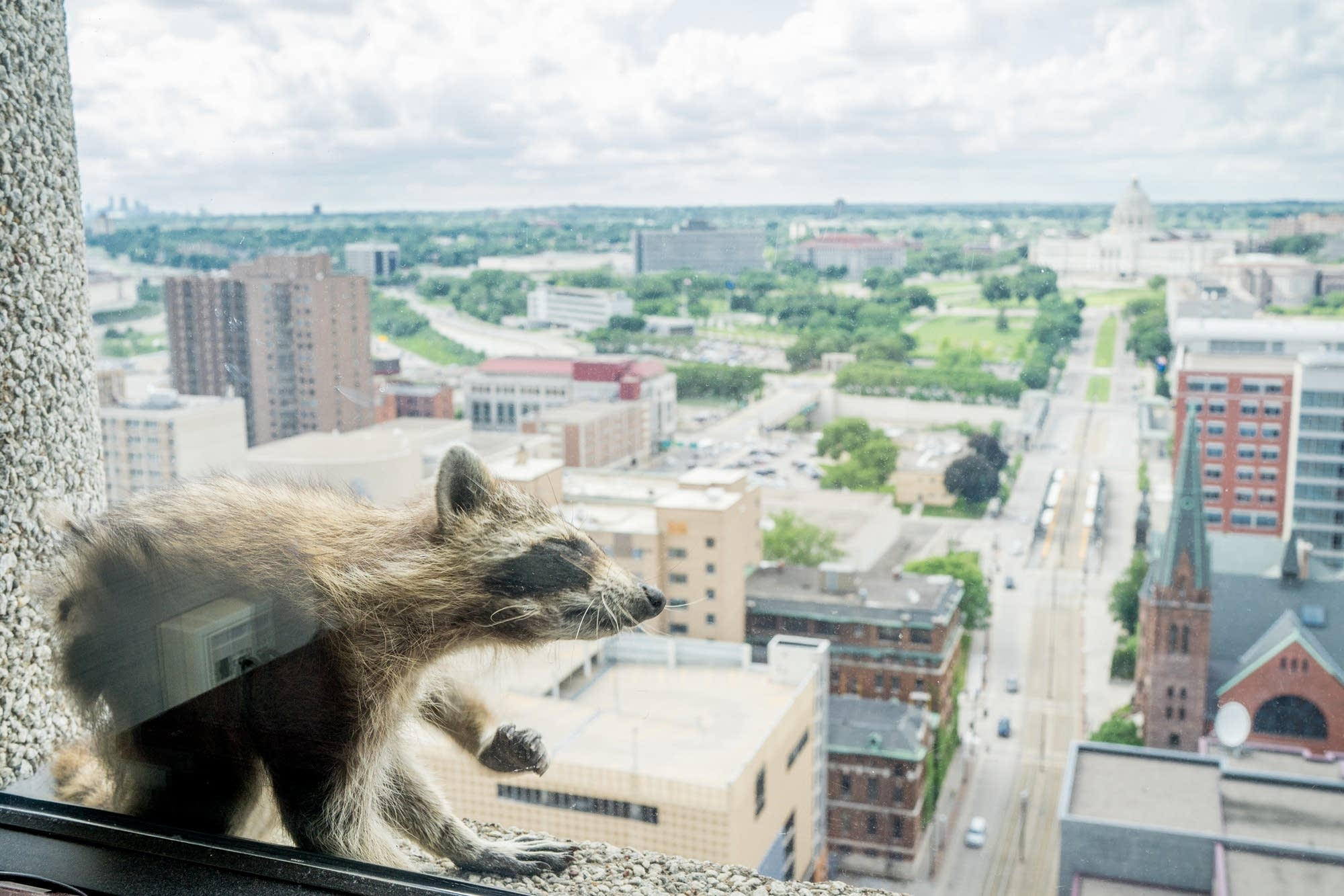A raccoon scratches itself a window sill.
