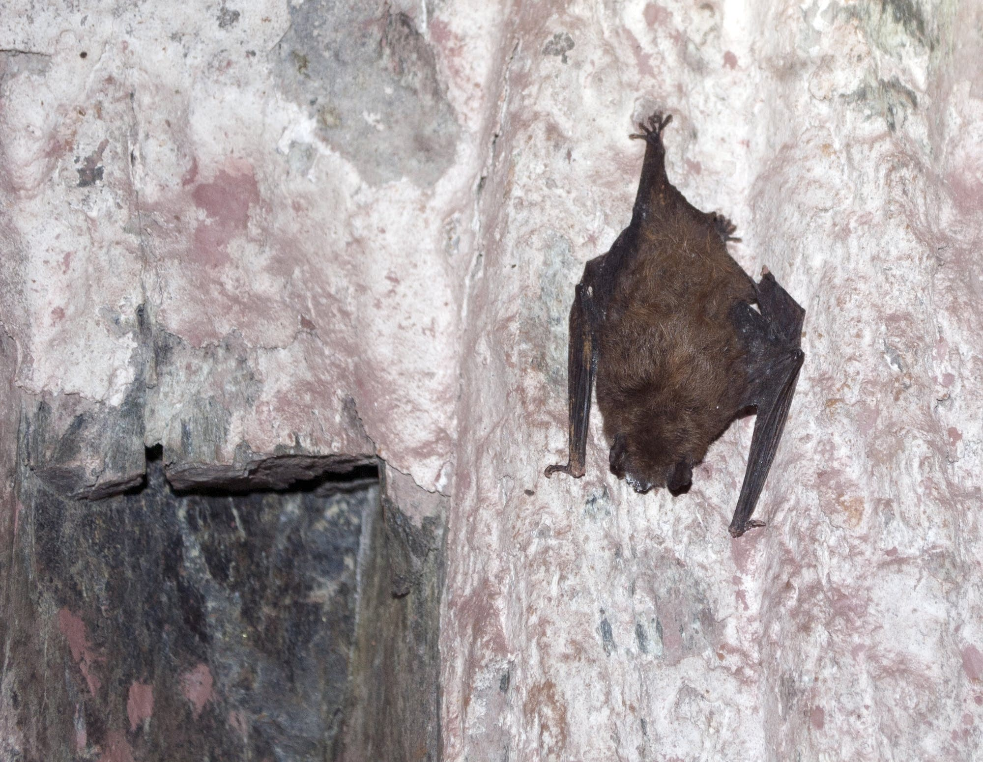 A bat illuminated by a headlamp clings to the walls deep underground.