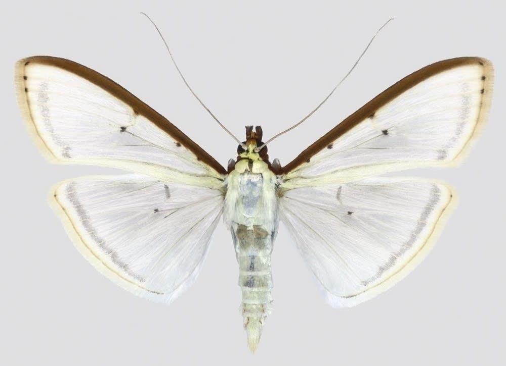 Choristostigma Plumbosignalis