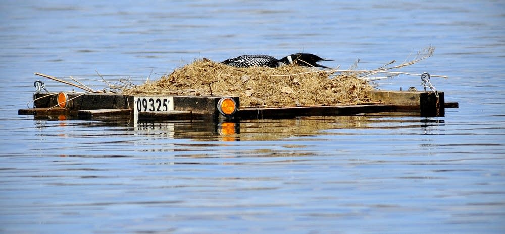 Resting loon