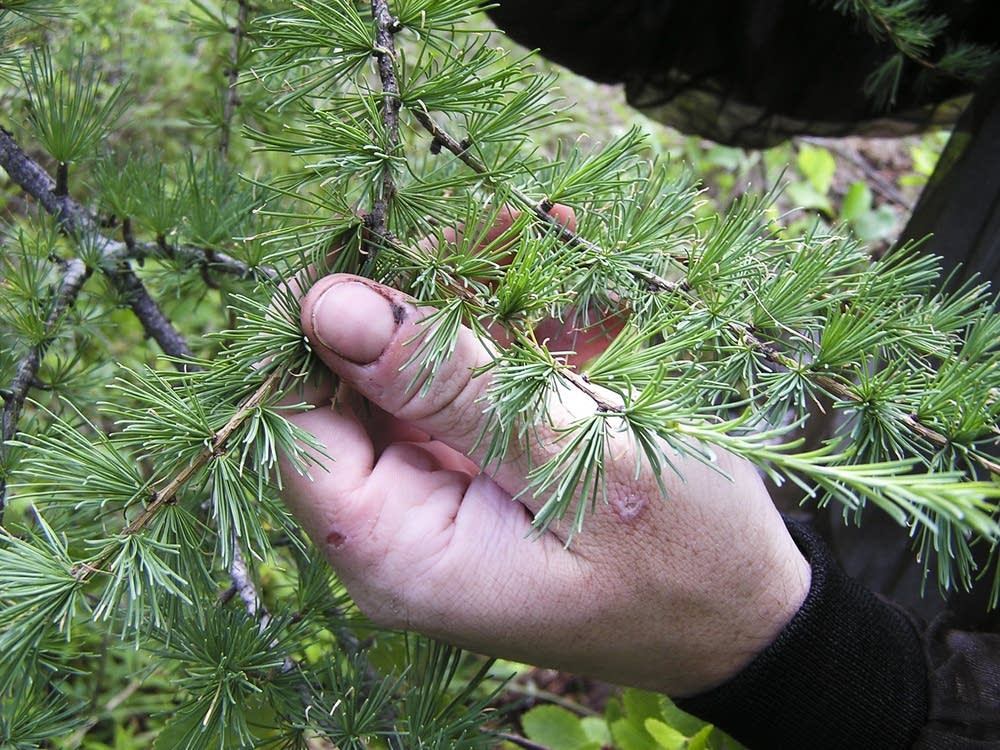 Healthy tamarack branch