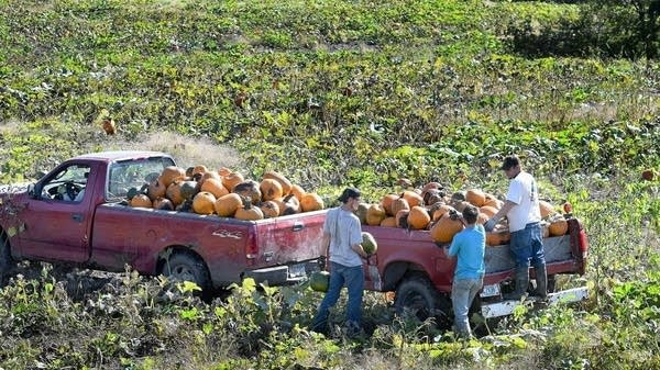 Workers load pumpkins into the back of a truck while harvesting a field