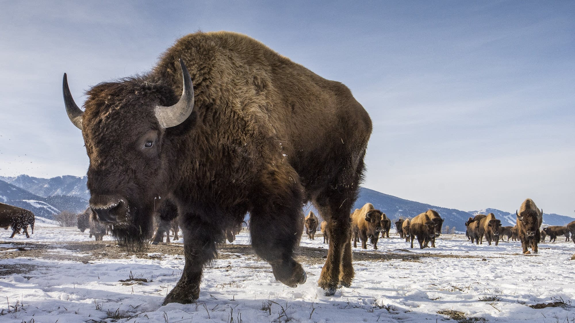 American plains bison