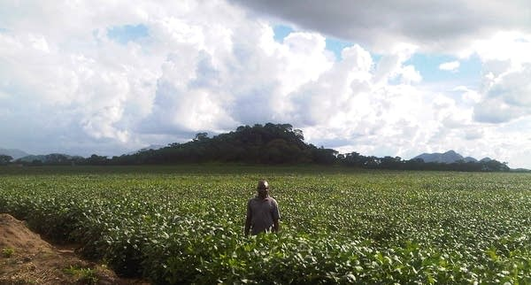 Mozambique soy bean field