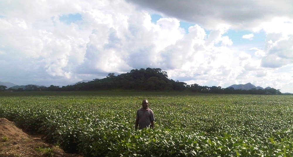 Mozambique soy bean field