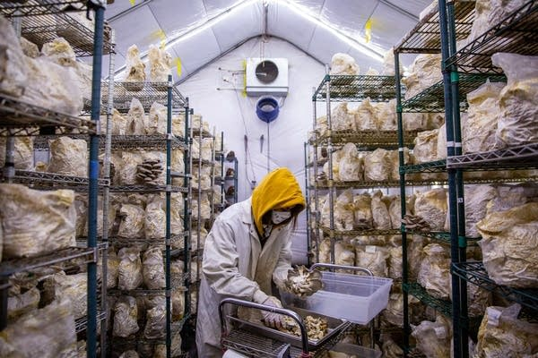 Mississippi Mushrooms intern Madalyn Baker harvests and trims mushrooms.
