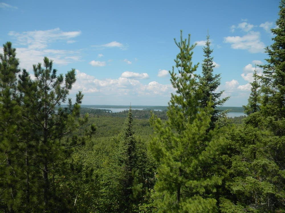 Heres how evergreen trees stay green all year Minnesota Public