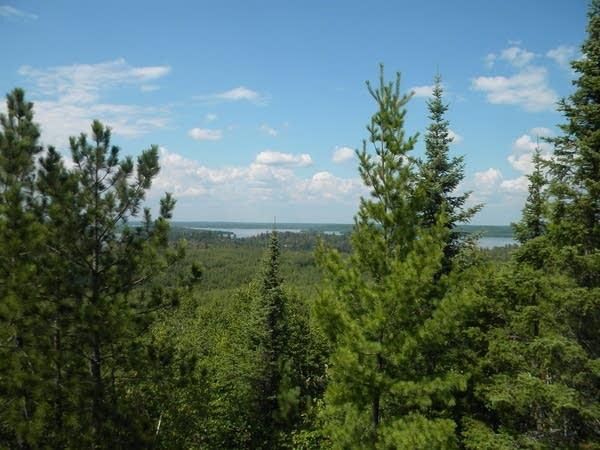 Aspen pine trees at Lake Vermilion State Park