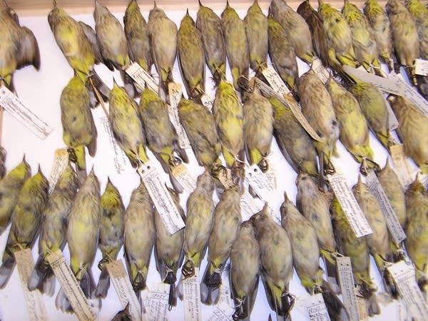 U of M bird collection