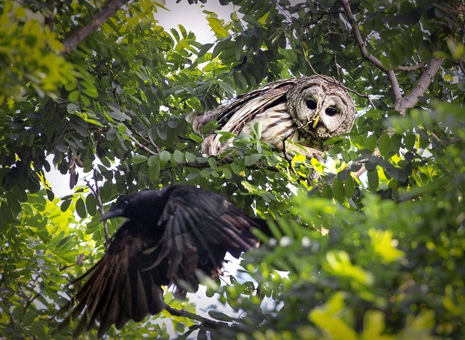 A juvenile barred owl gets close up with a crow