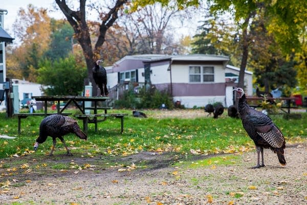 A gang of turkeys in St. Anthony.
