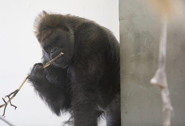 Schroeder, a 33-year-old male silverback gorilla, chews on a branch.