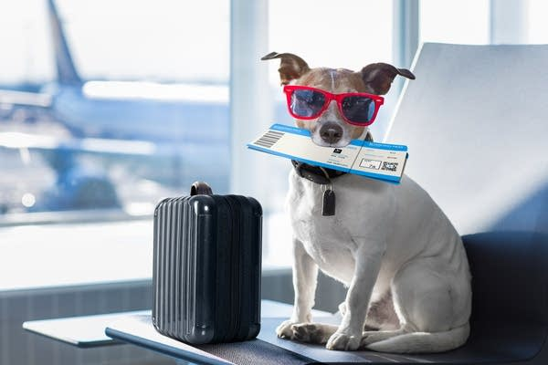 Dog in airport wearing sunglasses holding boarding pass in mouth