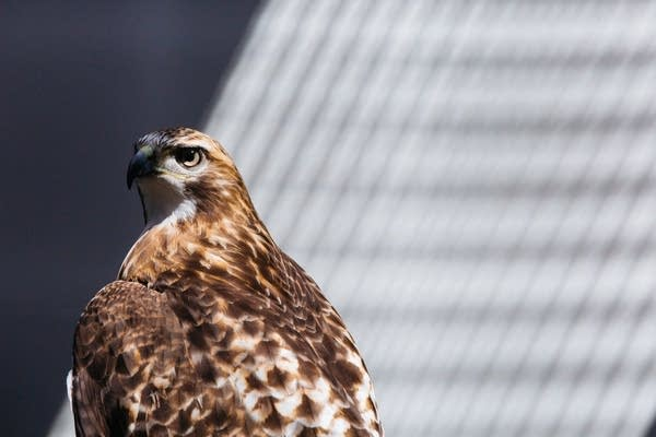 A red tailed hawk named Maxine sits in the sun.