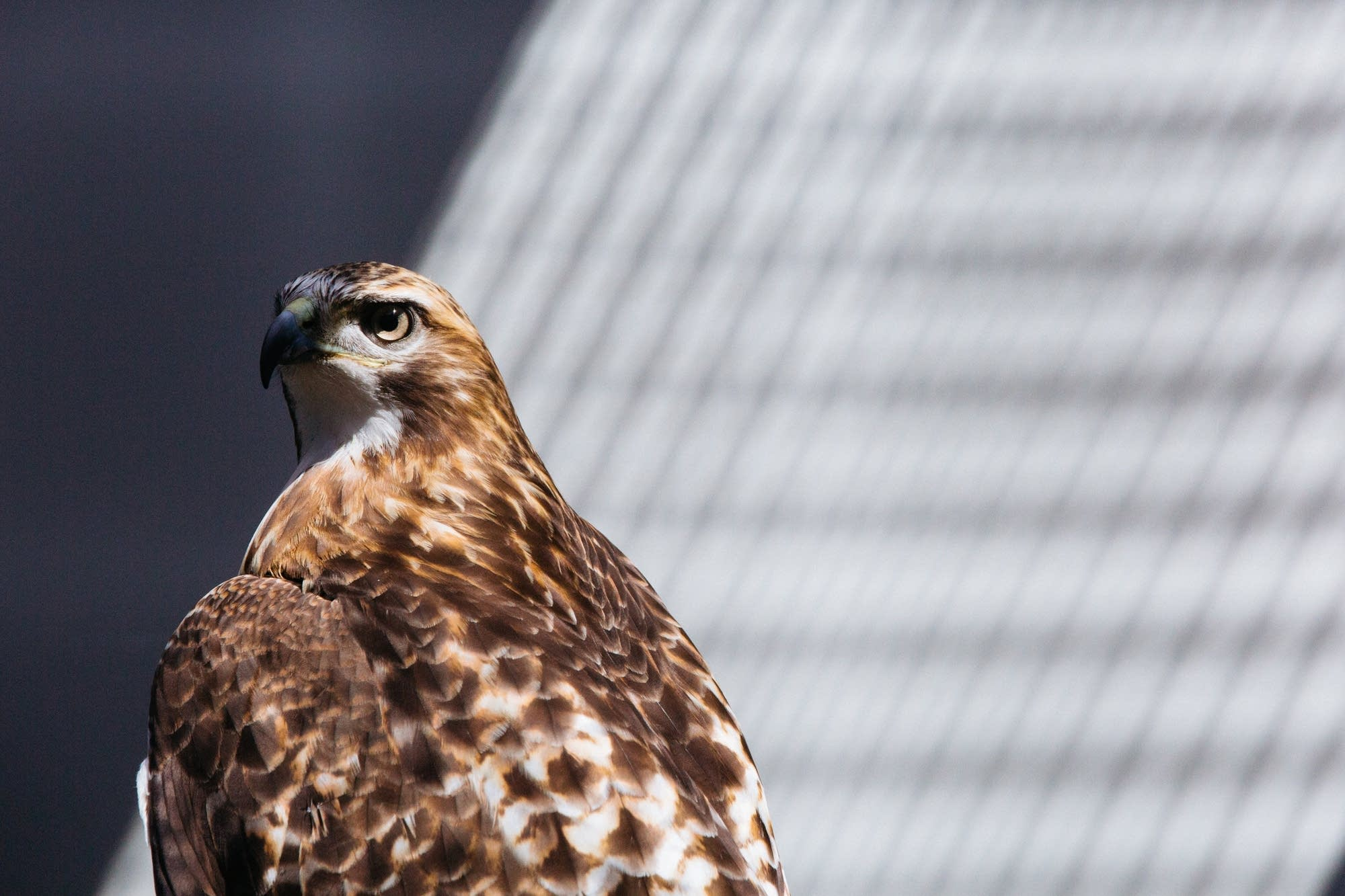 A red tailed hawk named Rowan sits in the sun.