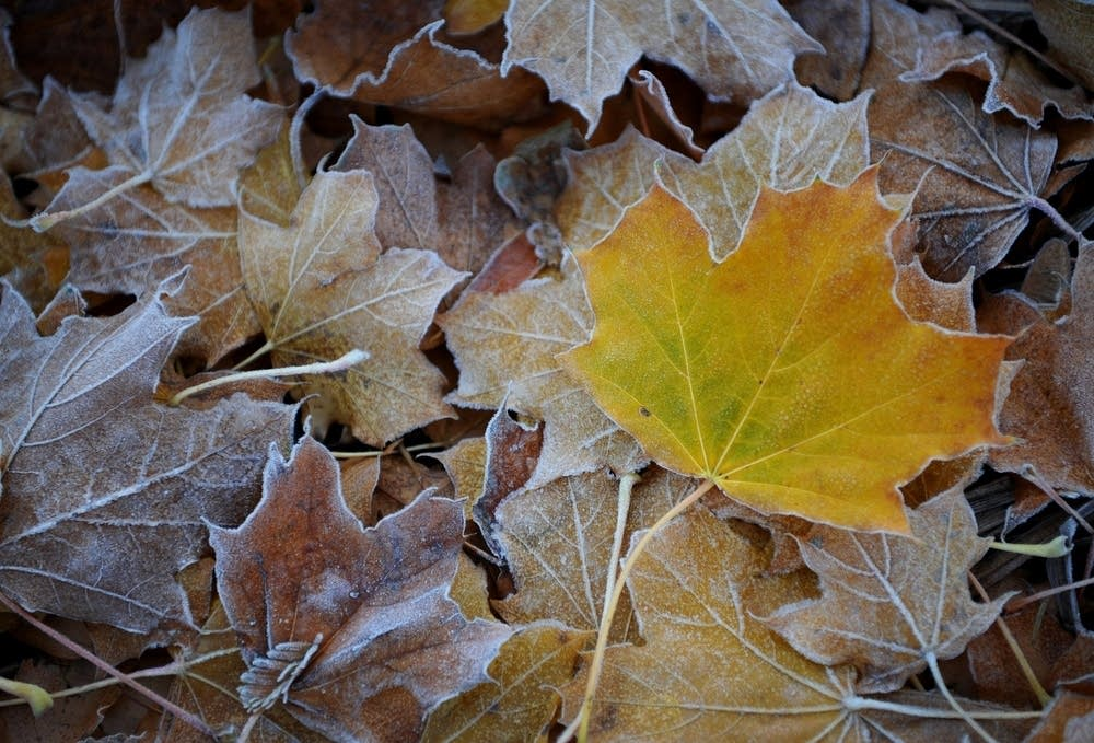Leaves covered in frost