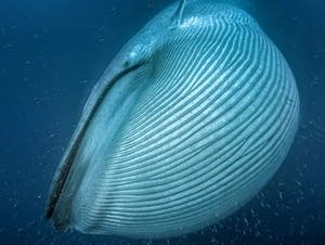 A blue whale engulfs krill off the coast of California.