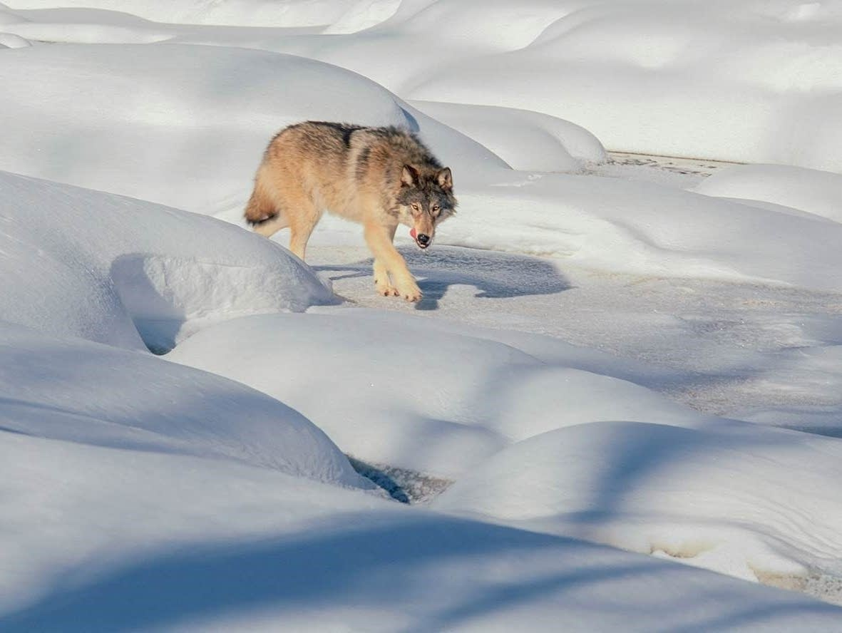 2e39f8f9456 What gray wolves' endangered species status means for Minnesota   MPR News