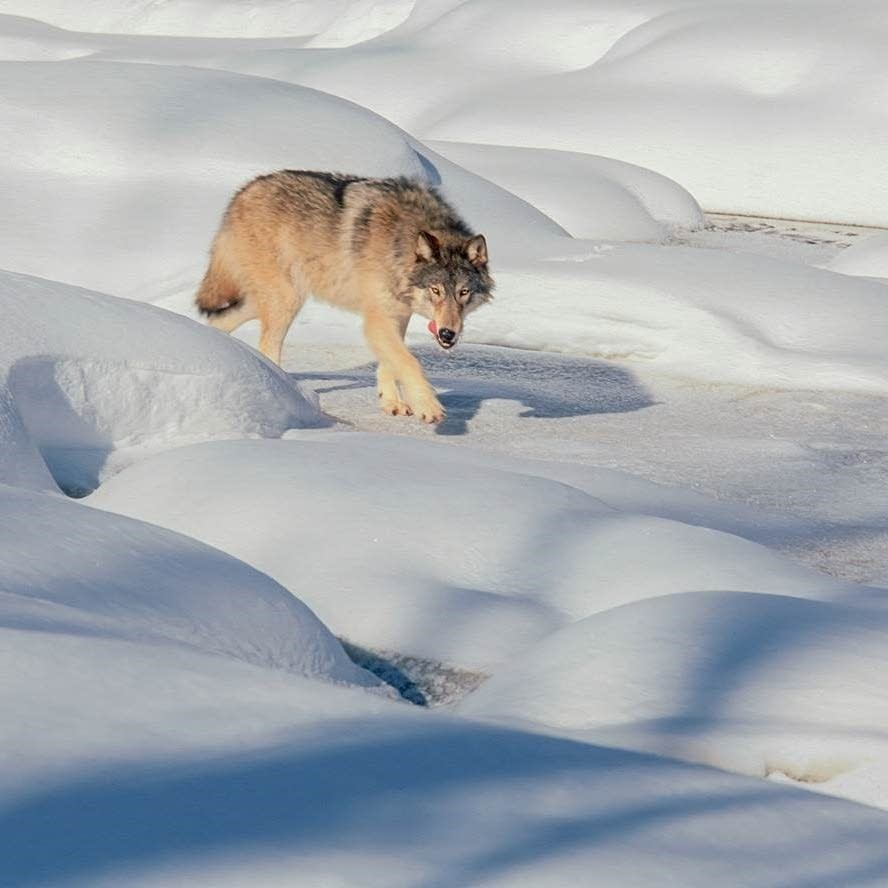What Gray Wolves Endangered Species Status Means For Minnesota