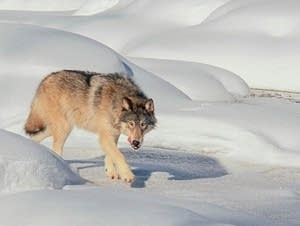 A gray wolf near Snake River.