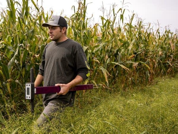 A man walks through a cornfield
