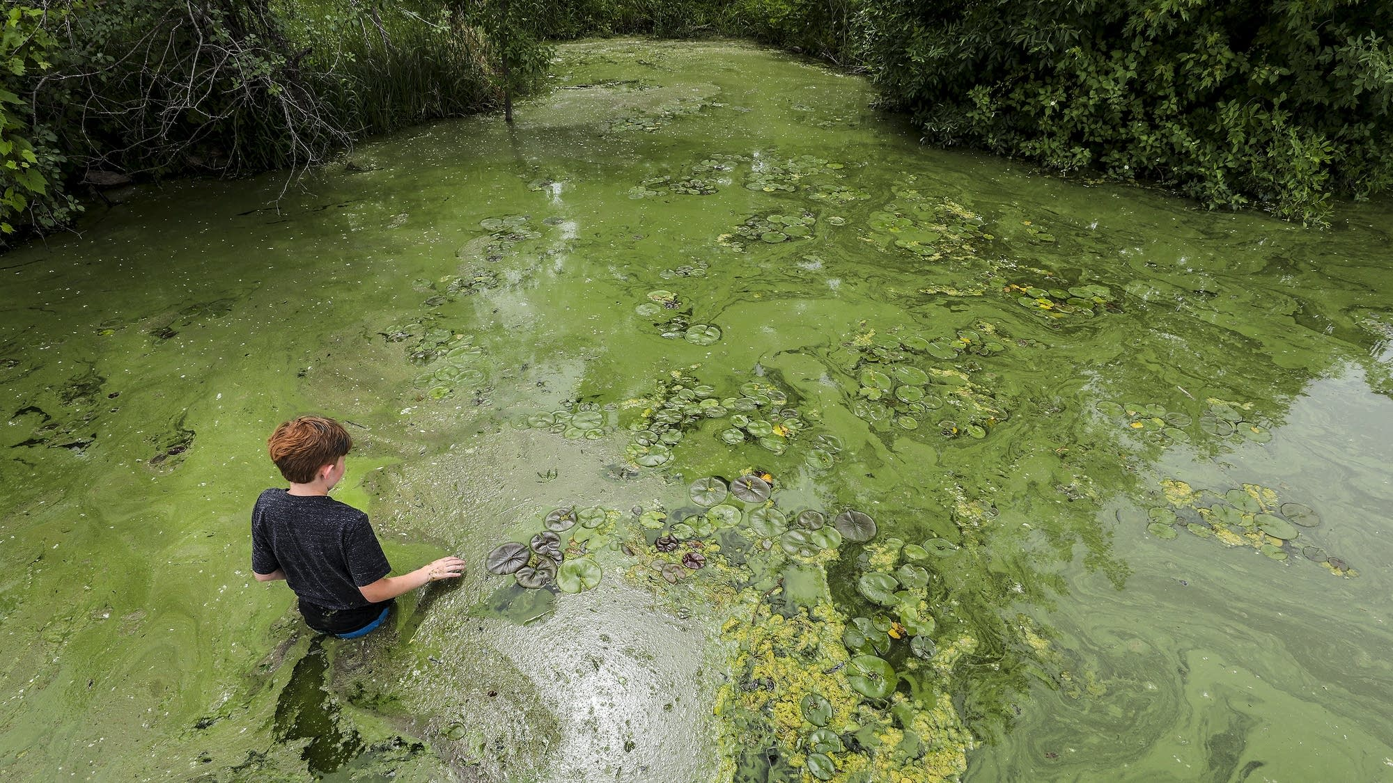 Eleven-year-old Evan Trompeter wades through algae in Little Rock Lake.