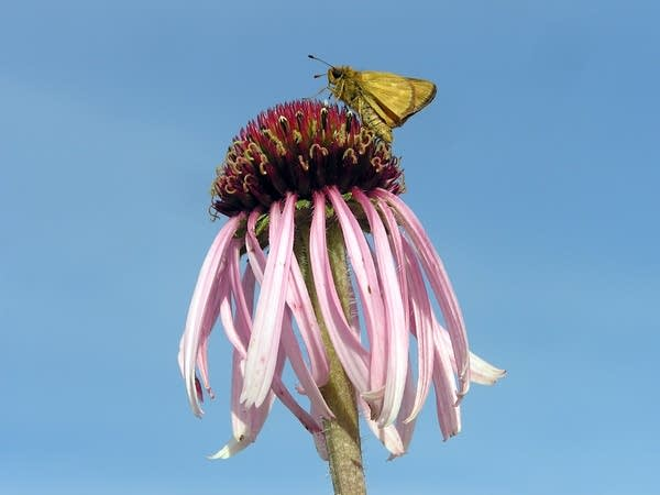 A just-released Dakota skipper butterfly perches on a coneflower.