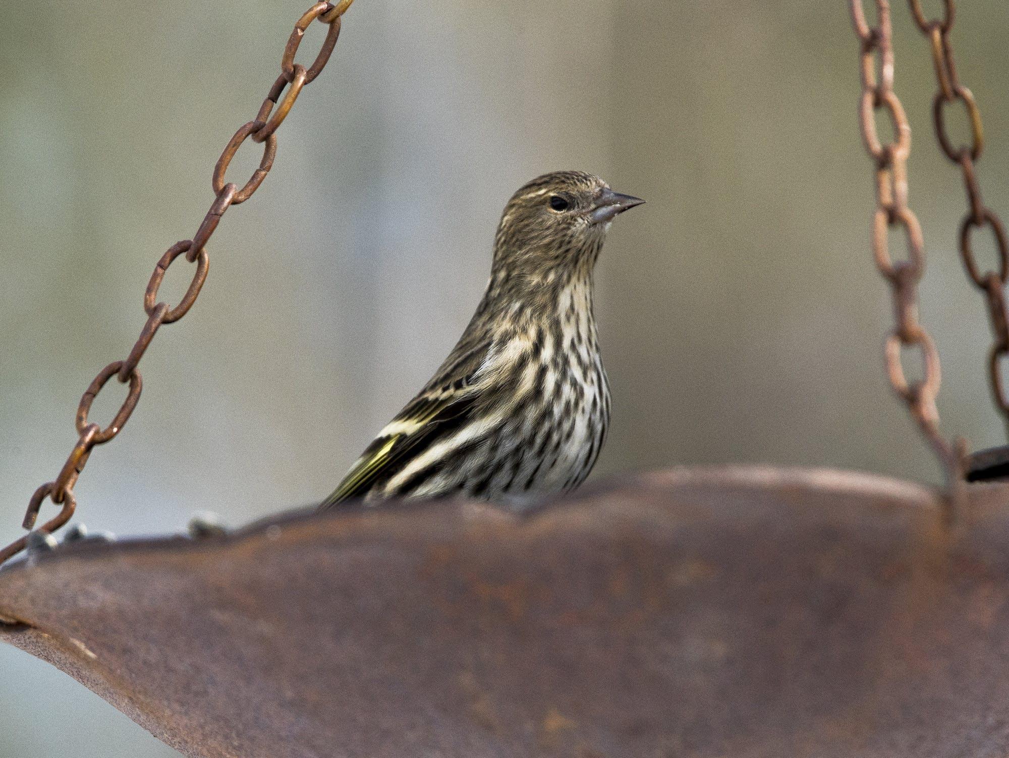 A pine siskin rests in a bird feeder