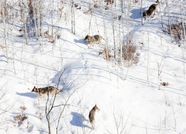 Roaming wolves