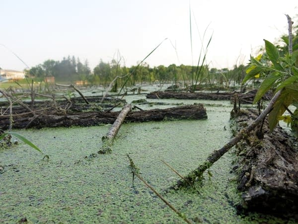 Algae bloom on Lake of the Woods