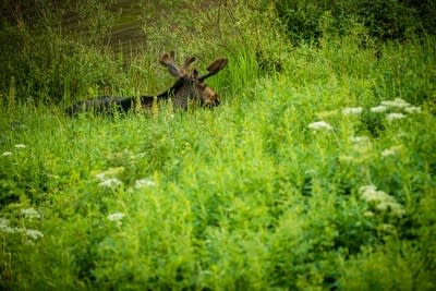 556ffe 20140718 a moose on the trail