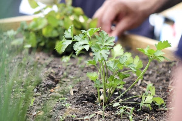 Parsley plant in sensory garden