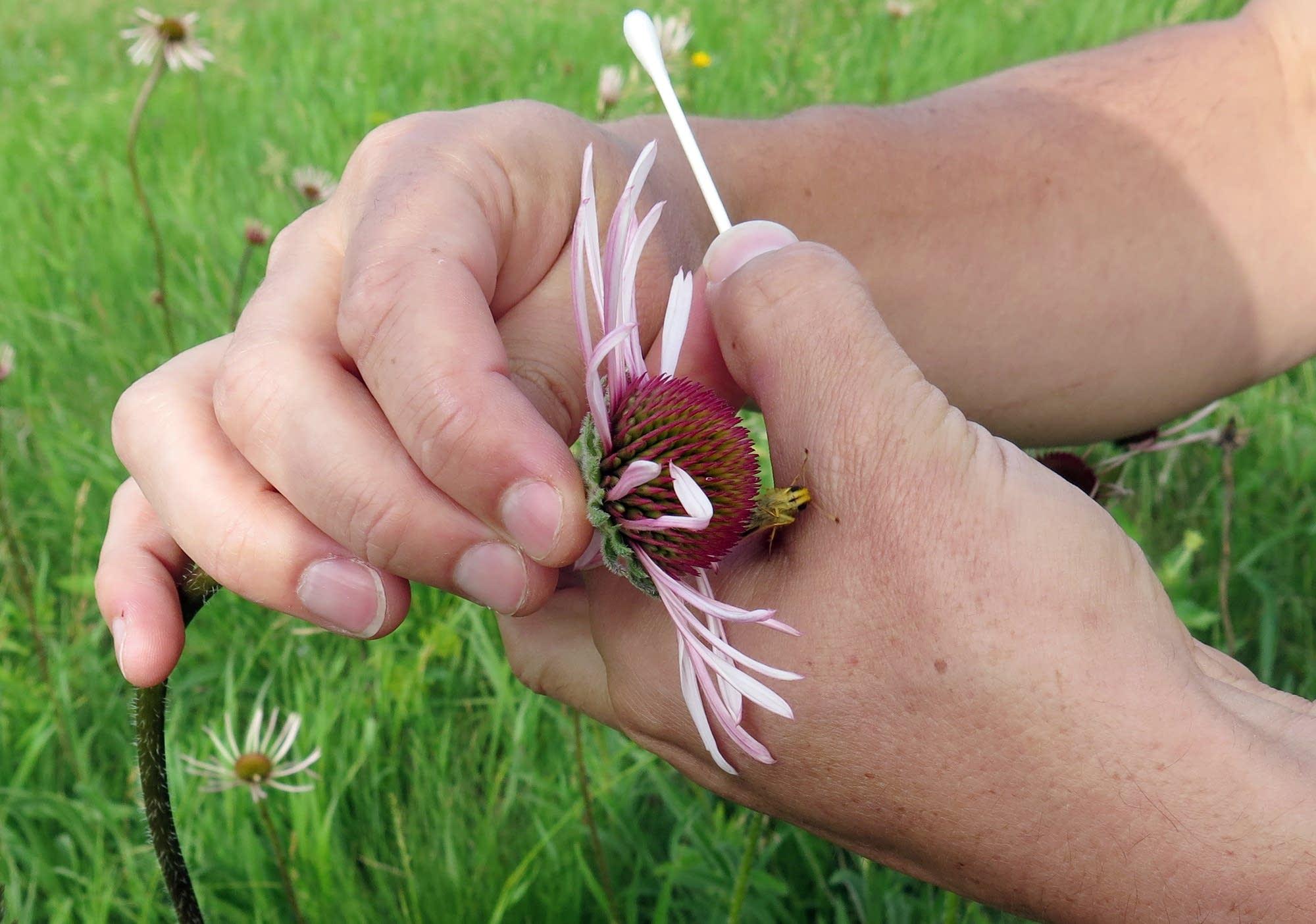 A Dakota skipper butterfly crawls from Erik Runquist's hand.