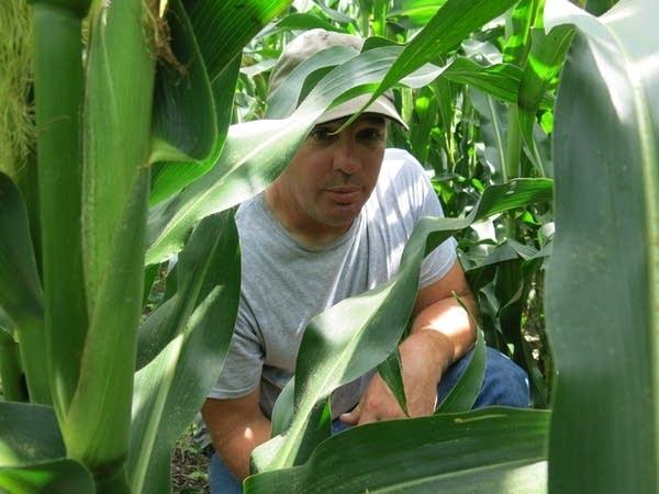 Nick Vinje checks the progress of cover crops