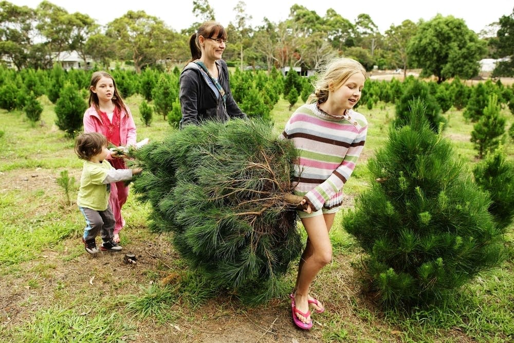 Harvesting a Christmas tree