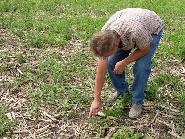 Rob Westby looks for prairie plant seedlings in a cornfield.