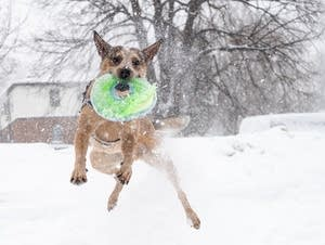 Mac leaps through the snow to catch a flying disc.