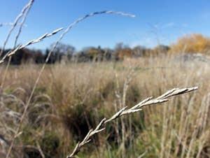 A field of perennial wheatgrass called Kernza.